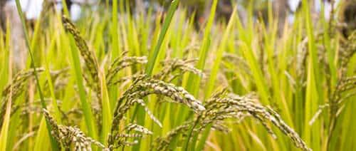 Rice 1