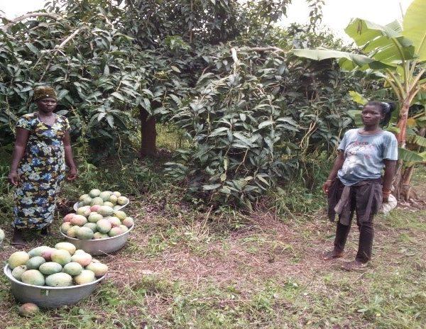 Visit to a mango farm